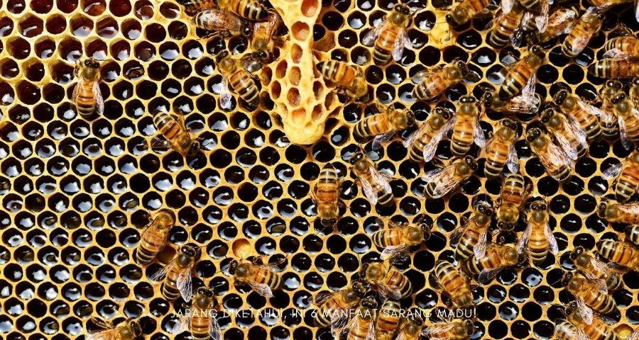 manfaat sarang madu